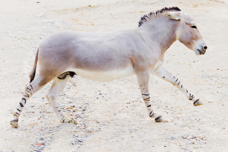 Somalijski dziki osioł fotografia royalty free