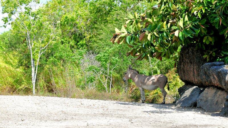 Somalijski dziki osioł w zoo zdjęcie royalty free