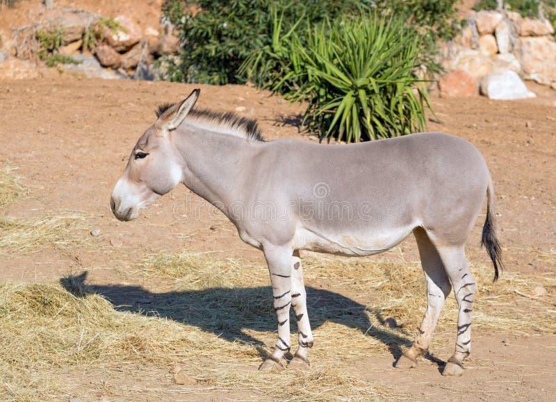 Somalijski dzikiego osła Equus africanus somaliensis obraz stock