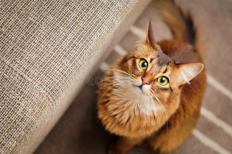 Somalische Cat Looking Up stock afbeeldingen