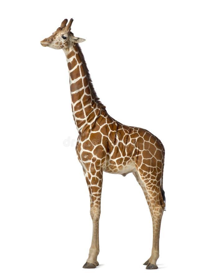 Somalische Giraf stock fotografie