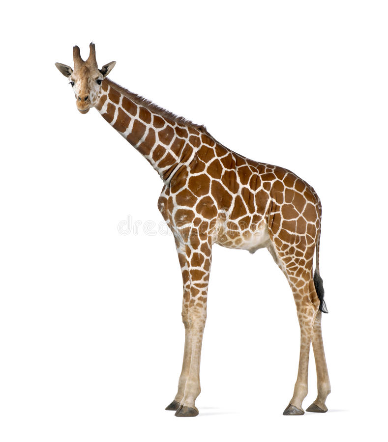 Somalische Giraf stock afbeeldingen