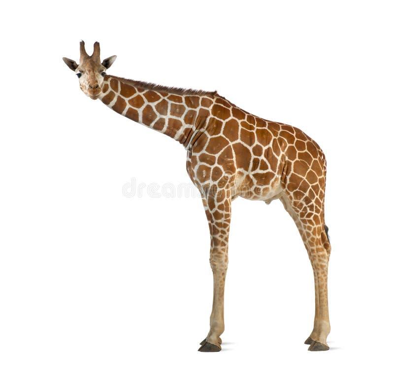 Somalische Giraf stock afbeelding
