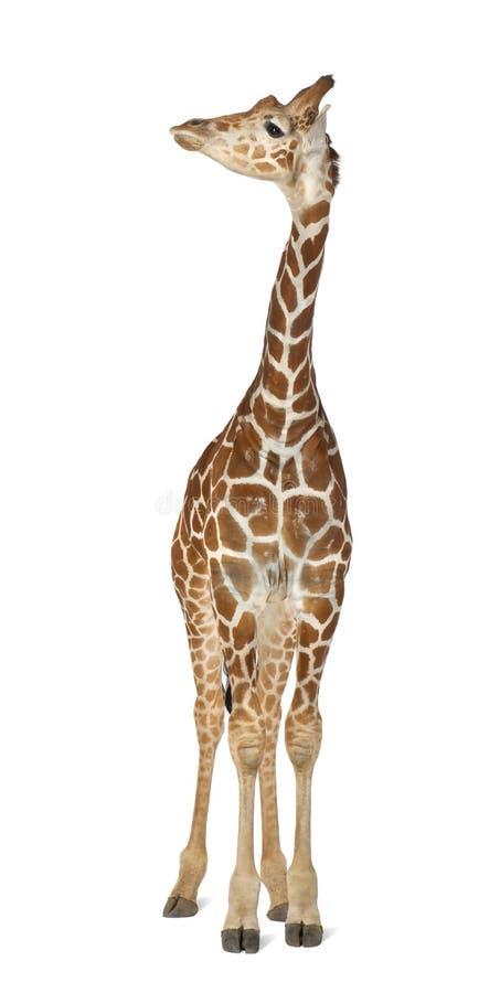 Somalische Giraf royalty-vrije stock foto