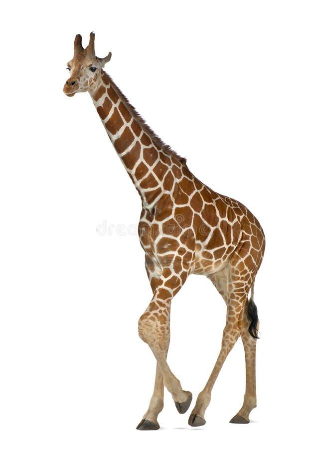 Somalische Giraffe lizenzfreies stockbild