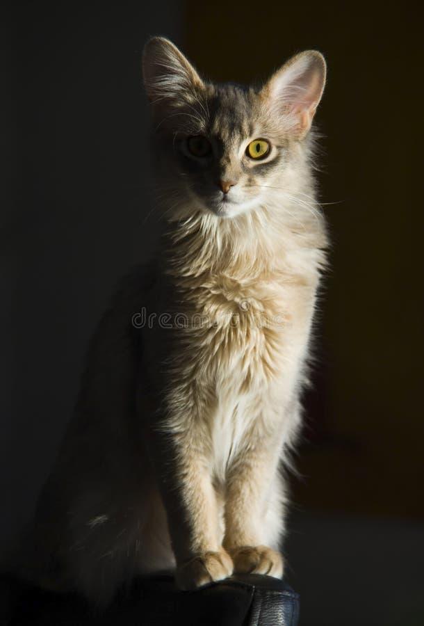 Somalische kat royalty-vrije stock afbeeldingen