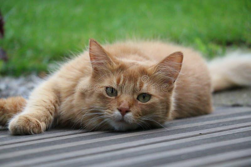 Somalische kat stock afbeeldingen