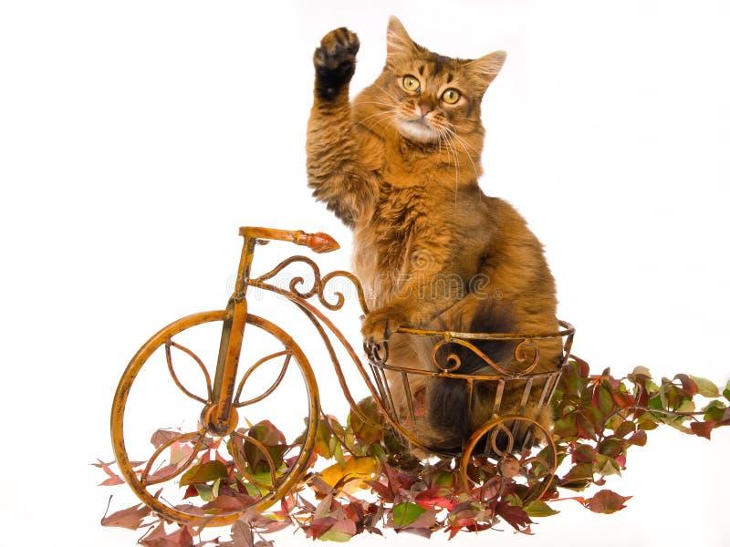Somalische kat die, op mini bruine fiets golft royalty-vrije stock foto