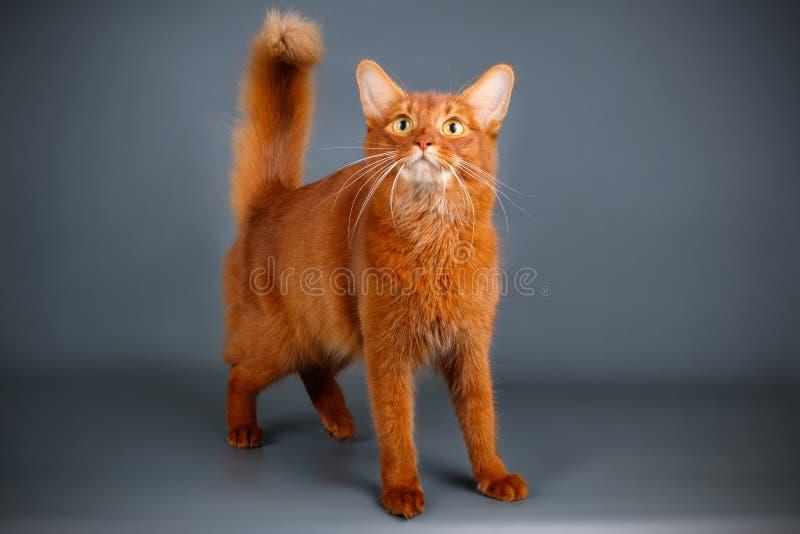 Somalische kat op gekleurde achtergronden stock afbeelding