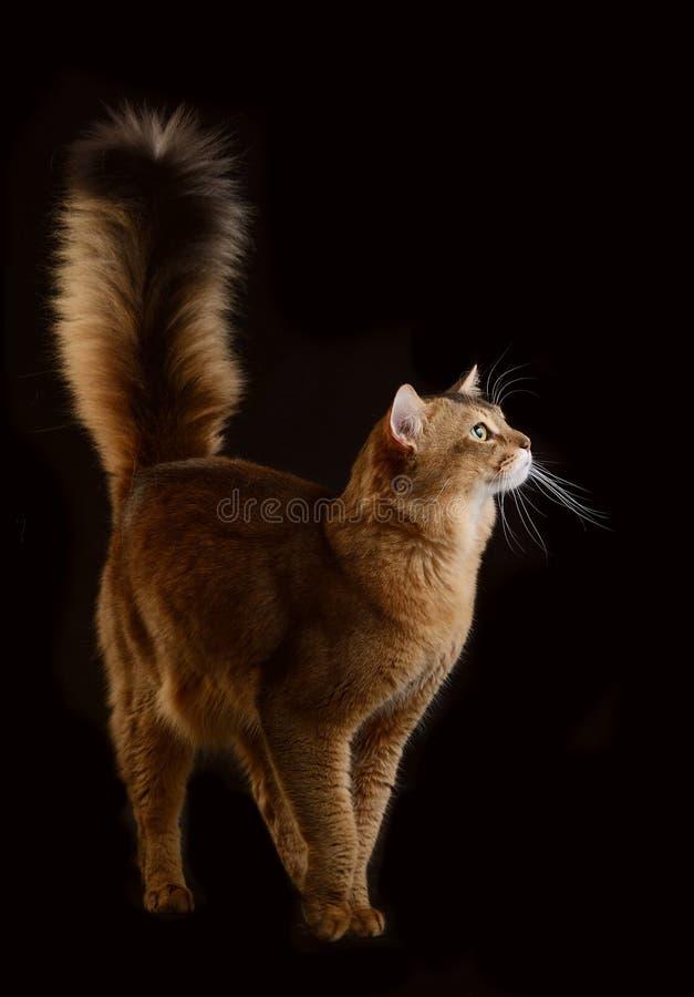 Somalische kat op zwarte achtergrond stock foto's