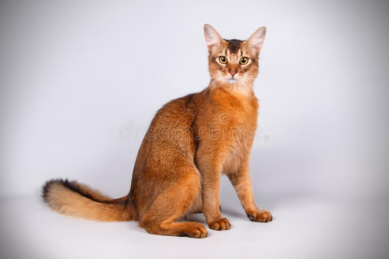 Somalische Katze auf farbigen Hintergründen stockbilder