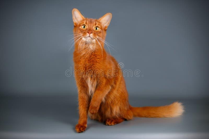 Somalische Katze auf farbigen Hintergründen lizenzfreies stockfoto