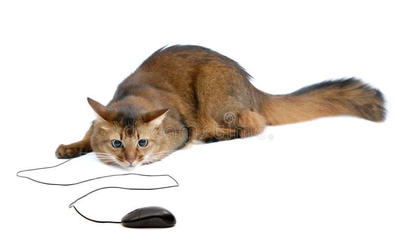 Somalische Katze mit der schwarzen Computermaus, lokalisiert lizenzfreies stockfoto