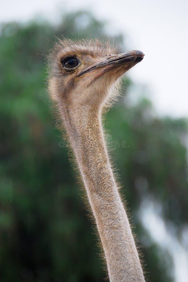 Somalische Struisvogel stock foto's