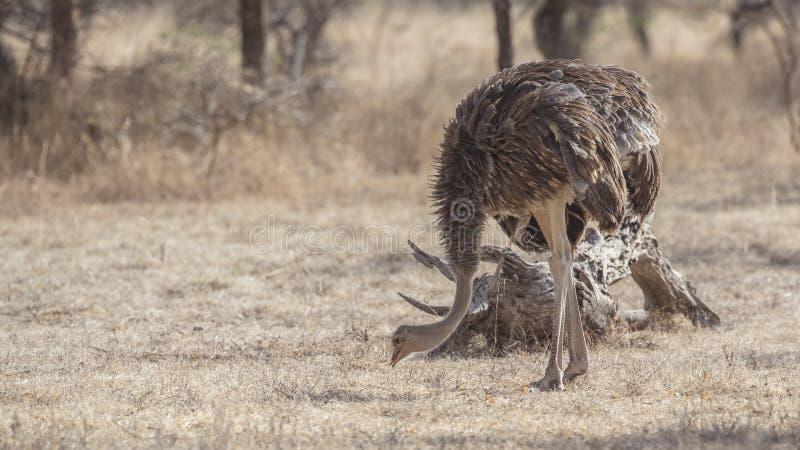 Somalische Struisvogel die Voedsel zoeken royalty-vrije stock afbeeldingen