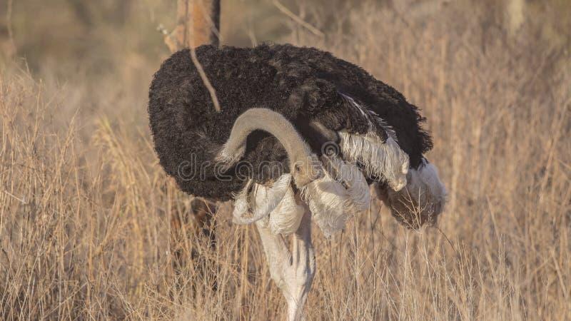 Somalische Struisvogelkrassen stock afbeelding
