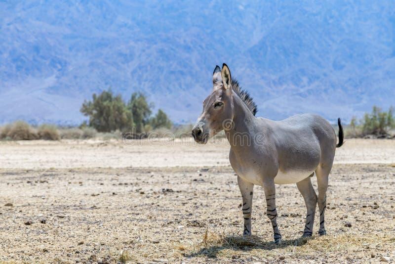 Somalische wilde africanus van ezelsequus stock foto's