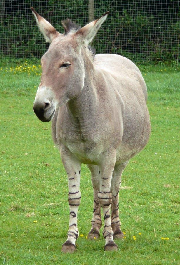 Somalische wilde ezel royalty-vrije stock foto