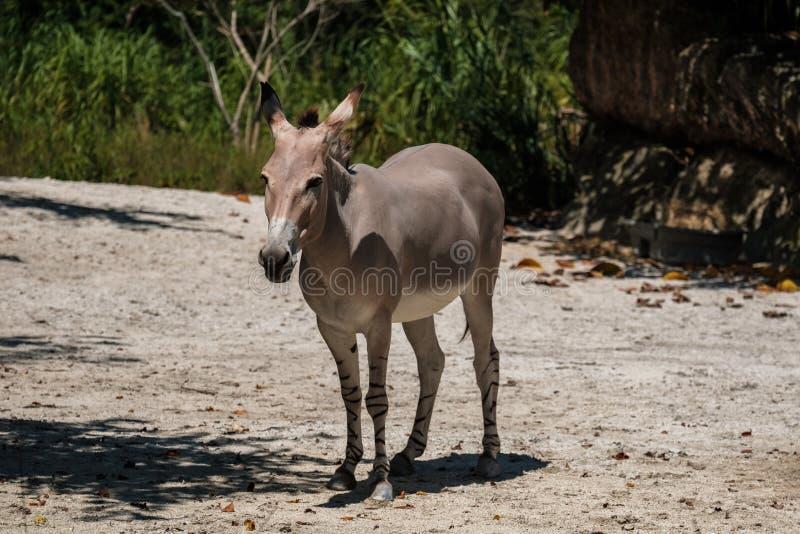 Somalische wilde ezel stock afbeeldingen