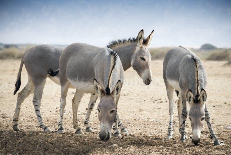 Somalische wilde ezel (Equus-africanus) stock fotografie