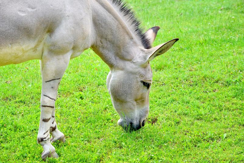 Somalischer wilder Esel Equus Asinus Somalicus, das Gras in der Natur isst lizenzfreies stockbild
