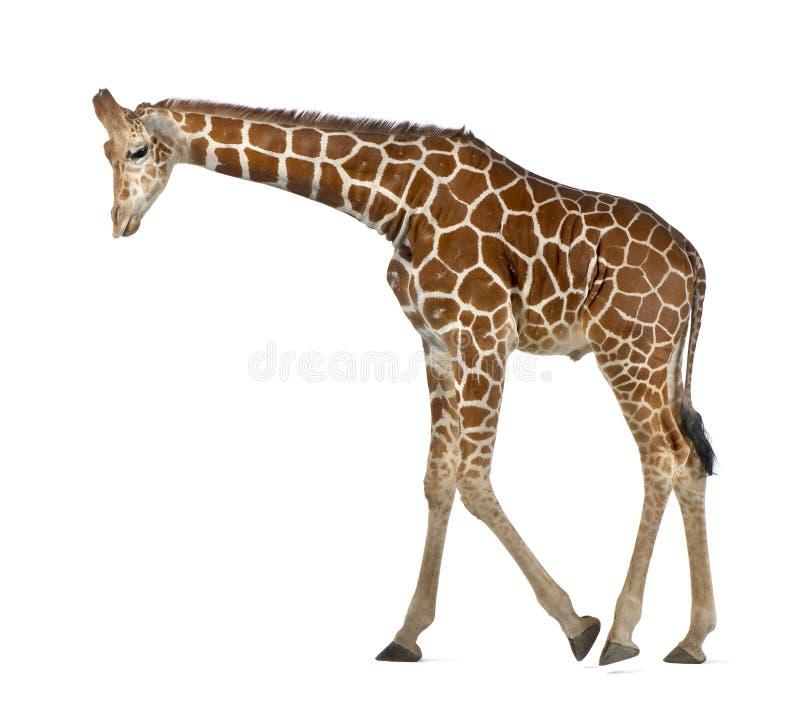 Somalisk giraff royaltyfri fotografi