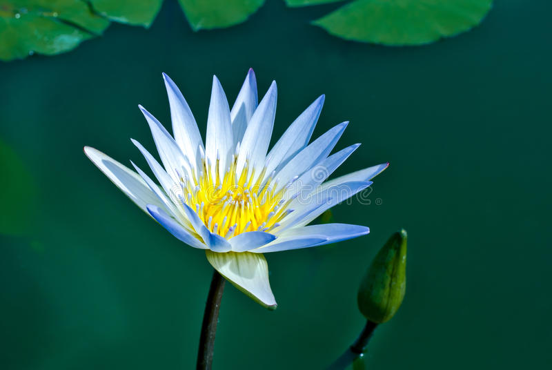 Sombra azul de la flor de loto blanco en luz de la mañana fotografía de archivo