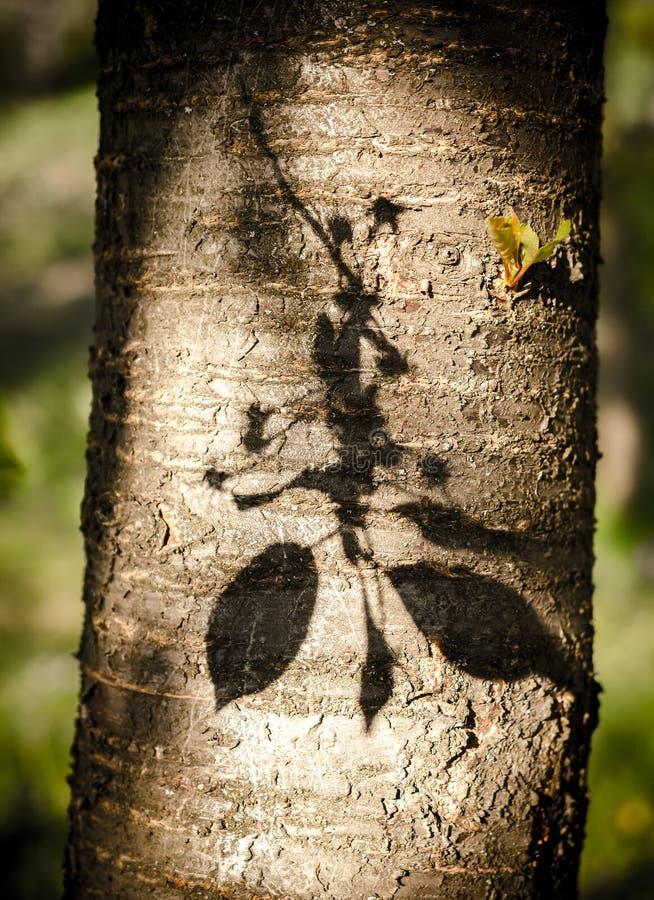 Sombra de la rama floreciente de la cereza fotografía de archivo