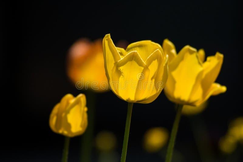 Sombra de uma aranha que esconde dentro de uma tulipa amarela fotografia de stock