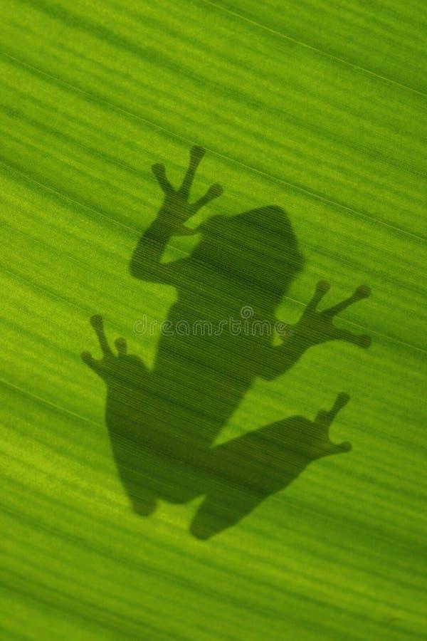 Sombra del treefrog cubano en la hoja verde retroiluminada foto de archivo