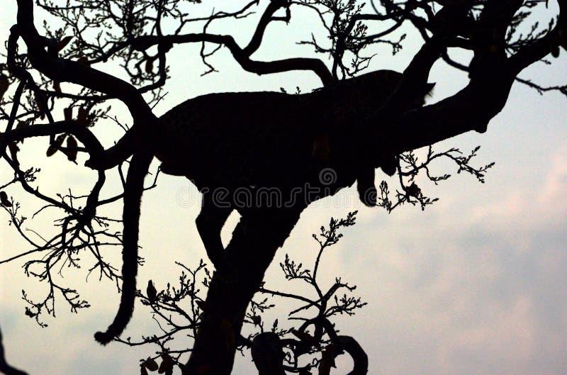 Sombra do leopardo fotos de stock