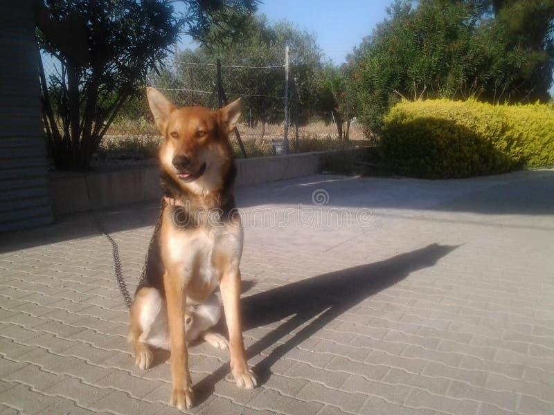 Sombra más barata alemana del lobo del perro imagen de archivo