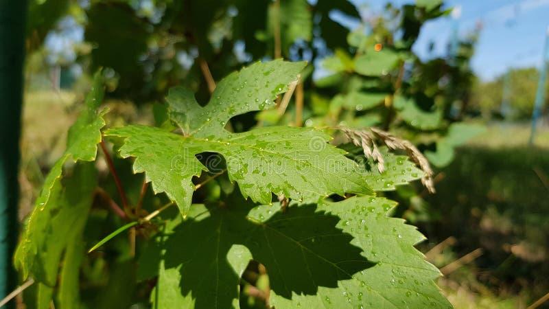 Sombra preta clara nas folhas verdes frescas da vinha selvagem com gotas da água após a chuva Superfície molhada do close up verd imagens de stock royalty free