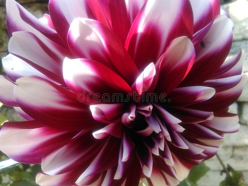 Sombra roja y blanca de Dalhia fotografía de archivo