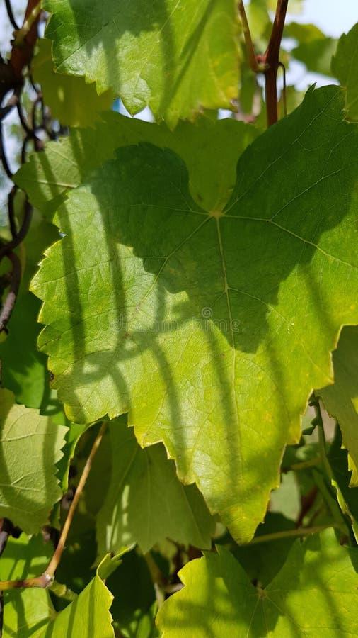 Sombras da forma da grade e da forma do triângulo da cerca da rede de arame na folha verde luxúria da vinha Texturas naturais da  foto de stock