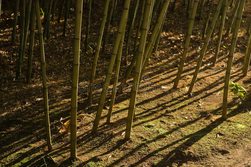 Sombras dramáticas en el bosque de bambú (2) fotos de archivo libres de regalías