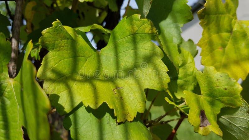Sombras listradas da cerca da rede de arame na folha verde fresca da vinha Texturas naturais da folha da uva na luz solar brilhan foto de stock