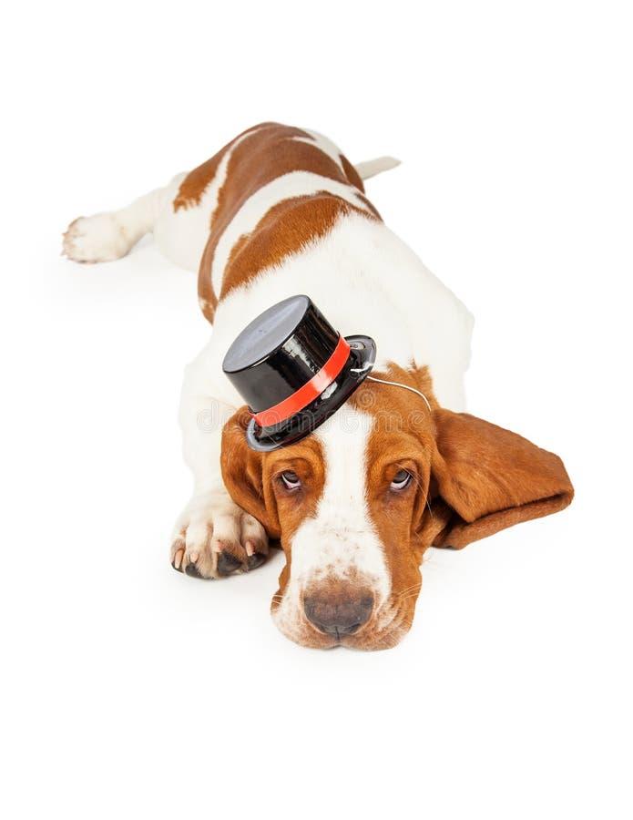 Sombrero de copa que lleva del perro lindo y adorable de Basset Hound fotos de archivo libres de regalías