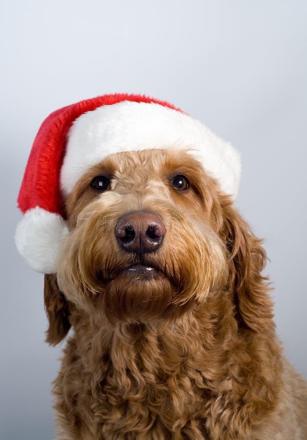 Sombrero de oro de santa del perro del doodle fotos de archivo libres de regalías