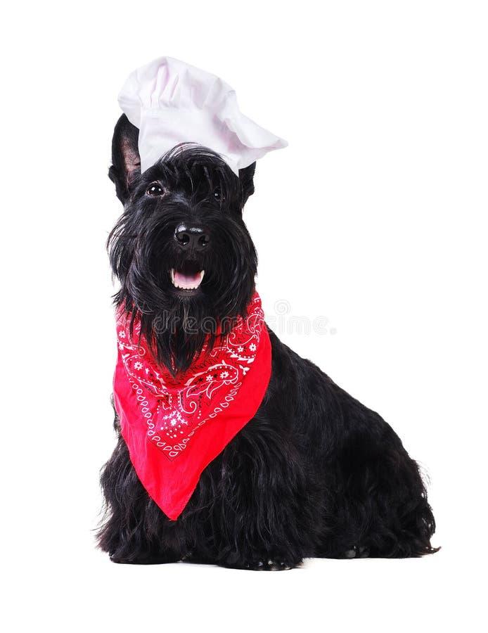 Sombrero del cocinero del terrier que lleva escocés negro fotografía de archivo
