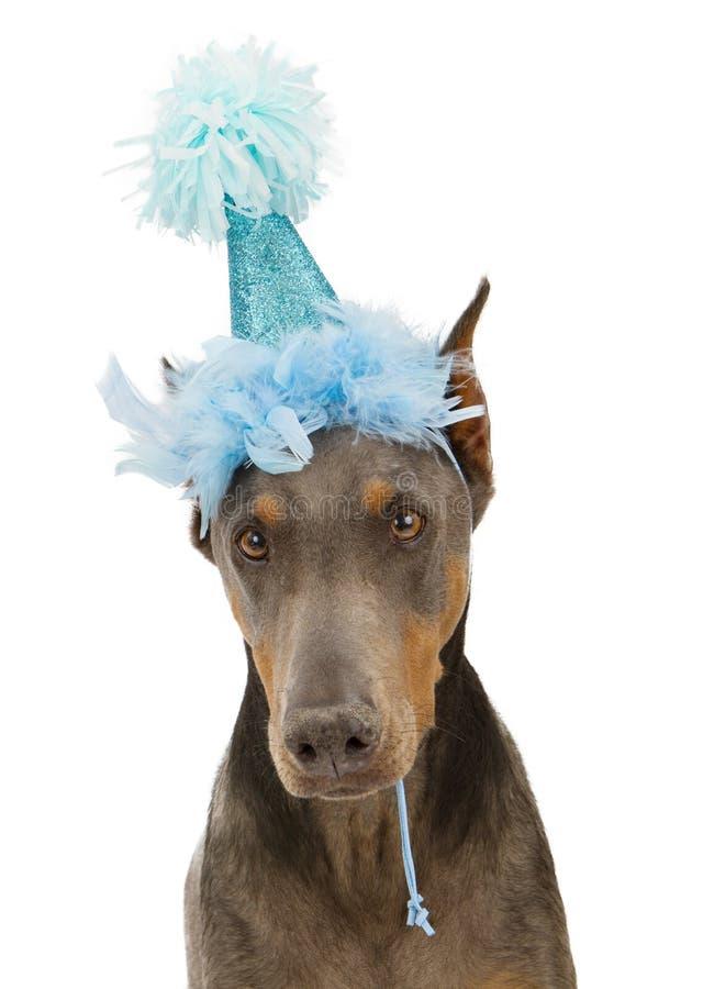 Sombrero del partido del perro del Pinscher del Doberman que desgasta fotos de archivo libres de regalías
