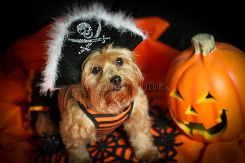 Sombrero del pirata del perro de Halloween que lleva con la calabaza imagen de archivo