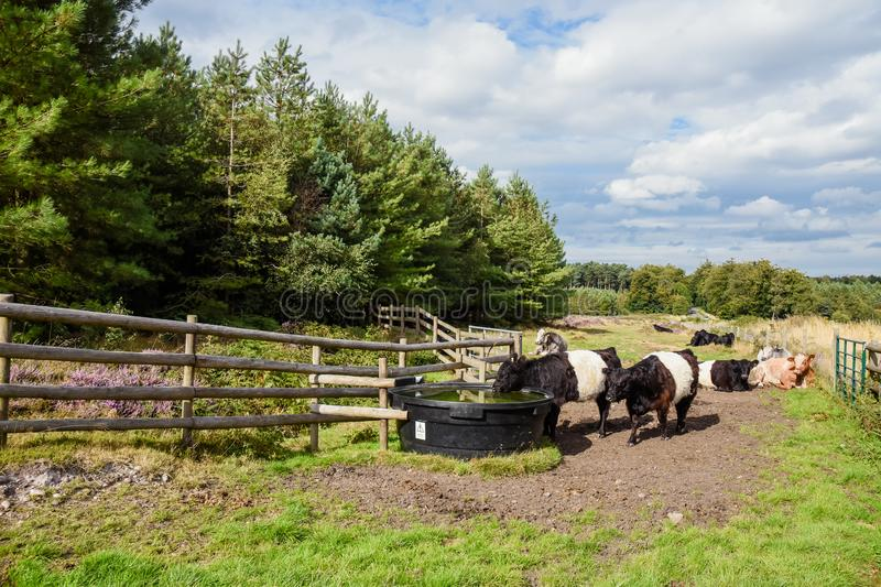 Belted Galloway Cattle Drinking, Cannock Chase. Some of the Belted Galloway cattle that have been introduced onto Cannock Chase Area of Outstanding Natural royalty free stock photos