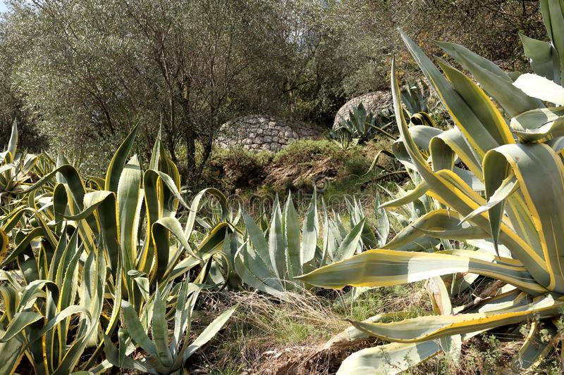 Some big agave plants stock images