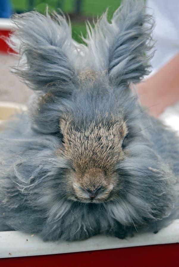 Gray Angora Rabbit Royalty Free Stock Image