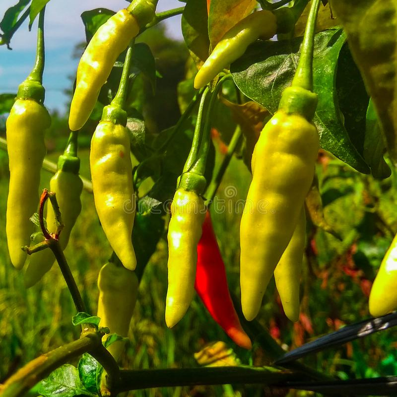 Some chili with blurry background. Chili with blurry background, nature, vegetable stock photography