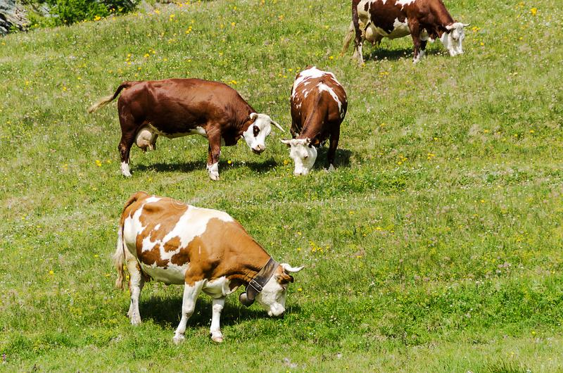 Some cows grazing on a hill in sunlight at summer. Herd of cows in a green meadow on a hill in sunlight at summer stock photo