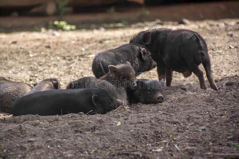 Some cute black piglets are lying on the ground royalty free stock photography