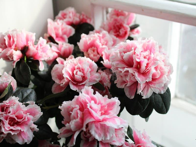 Beautiful pink azalea royalty free stock photos