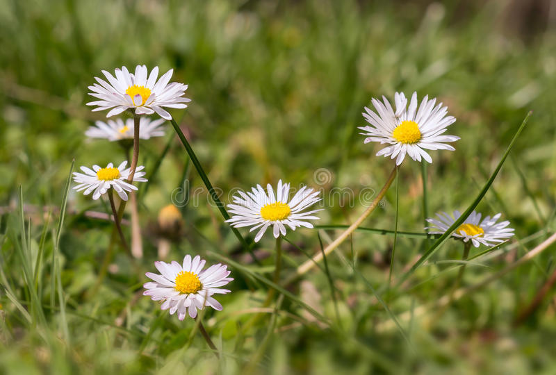 Some daisies in the fields on a beautiful spring day. Daisies in the meadows by a beautiful spring light stock photos